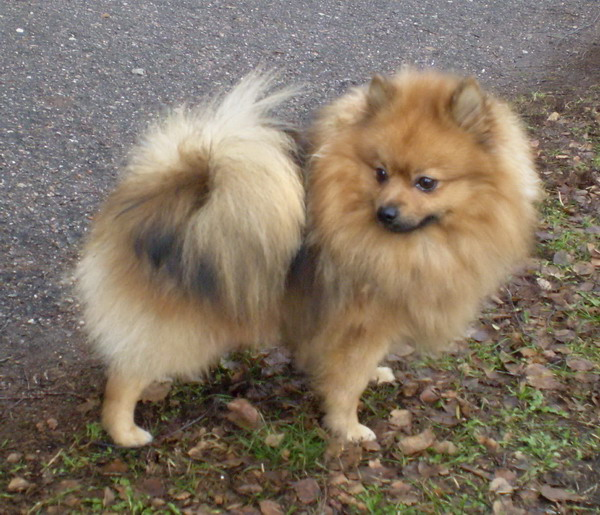 """Shafran Sheeny kennel""""pomeranian and kleinspitz puppy for ..."""