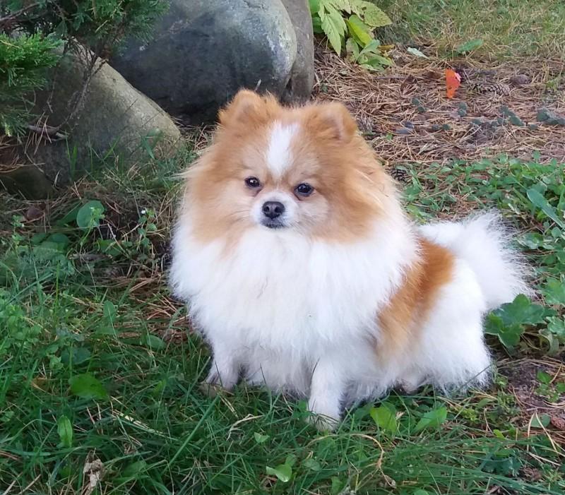 Shafran Sheeny Pictures Of Pomeranian