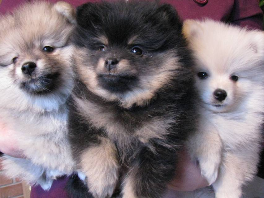 """Shafran Sheeny kennel"""" pomeranian and kleinspitz puppy for ..."""